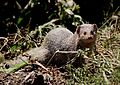 Indian Grey Mongoose or Common Grey Mongoose (Herpestes edwardsii) Amravati Maharashtra.JPG