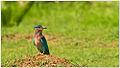 Indian Roller (Coracias benghalensis) by Dharani Prakash.jpg