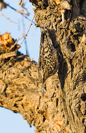 Tal Chhapar Sanctuary - Indian Spotted Creeper-Feeding