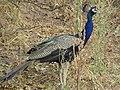 Indian peacock f.jpg