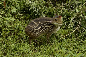 Indian spotted chevrotain - Indian spotted chevrotain from the Anaimalai Hills in India