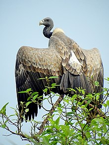 Indian vulture (Gyps indicus) Photograph by Shantanu Kuveskar.jpg