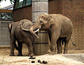 Indischer Elefantenbulle in der Must.jpg