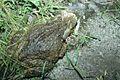 Ingerophrynus biporcatus.jpg