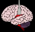 Insula cortex ja.png