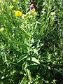 Inula germanica sl7.jpg