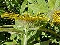 Inula hookeri (Hooker's Fleabane), Culzean Country Park - petals & feathery sepals side view.jpg