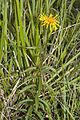 Inula salicina coteau-charteves 02 23062007 30.jpg