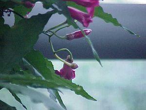 Ipomoea horsfalliae - Image: Ipomoea horsfalliae 1