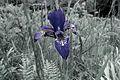Iris sanguinea - Flickr - odako1.jpg
