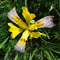 Iris variegata sl14.jpg