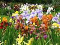 Irises in the Botanical Garden 03.JPG