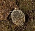 Isometopinae.jpg