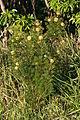 Isopogon anethifolius Middle Head bush.jpg