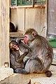 Iwatayama Monkey Park (3811314266).jpg