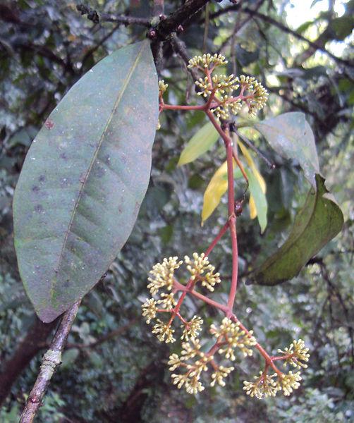 പ്രമാണം:Ixora brachiata 02.JPG