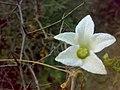 JNU White Flower in Wilderness.jpg