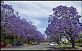 Jacaranda are mostly Purple-05 (22698487026).jpg