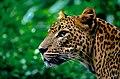 Jaguar Staring in the Distance.jpg