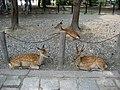 Japanese Deers - panoramio.jpg
