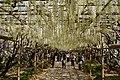 Japanese wisteria, Ashikaga Flower Park 5.jpg