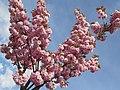 Japanische Blütenkirsche - panoramio - Baden de.jpg