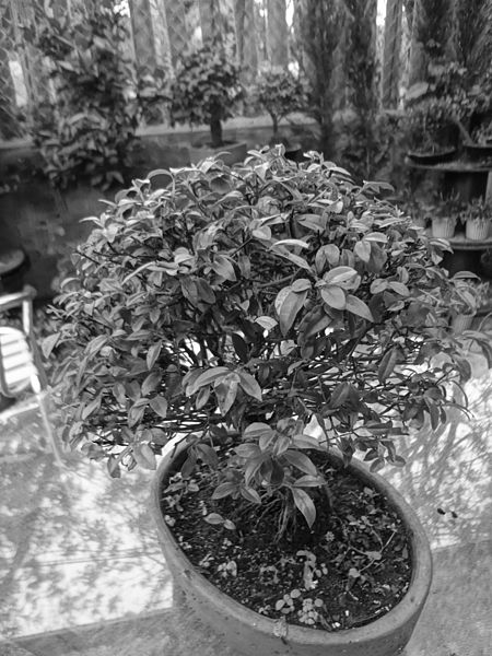 File:Jardín Botánico de Quito (Bonsai) black and white, Quito.jpg