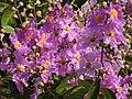 Jarul Flower Lagerstroemia speciosa by Dr. Raju Kasambe DSCN8917 (1).jpg