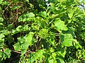 Jatropha curcas at thenmala 2014 (6).jpg