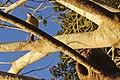 João de Barro - Pantanal - MS - Brasil.jpg