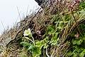 Jordviva (Primula vulgaris)-1-2 - Flickr - Ragnhild & Neil Crawford.jpg