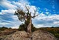Juniper trees can grow in rocky outcroppings. (c02459e2-1c5e-4649-9293-e6a6342549c8).jpg