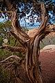 Junipers often grow in dry, rocky areas. (ccab3c86-0d4f-4fd5-924d-ceb37f7a260b).jpg