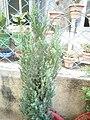 Juniperus chinensis 'Pyramidalis' potted at Akola, Maharashtra, India.jpg