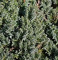 Juniperus chinensis var. procumbens 'Nana'.JPG
