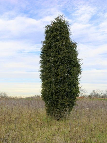 Characteristic shape in old field succession Juniperus virginiana near Oxford, Ohio.jpg