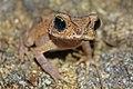 Juvenile Cuban Spotted Toad (Peltophryne taladai) (8575064566).jpg