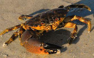 Florida stone crab -  Juvenile Cuban stone crab