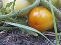 K.Pudur Village Tomato Plant.jpg