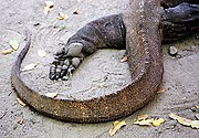 Close-up of a Komodo dragon's foot and tail.