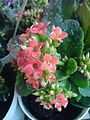 Kalanchoe blossfeldiana by Imuzak.JPG