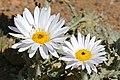 Karoo Daisy (Arctotis leiocarpa) (32779805345).jpg