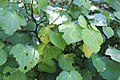 Kawakawa leaves with predation.jpg
