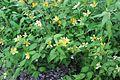Kerria japonica 03.JPG