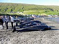 Killed pilot wales in hvalba, faroe islands.JPG