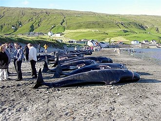 Whaling in the Faroe Islands - Killed pilot whales on the beach in the village Hvalba on the southernmost Faroese island Suðuroy