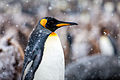 King Penguin in the Snow at Gold Harbour, South Georgia Island.jpg