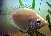 Kissfish