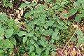 Kluse - Solanum nigrum - Schwarzer Nachtschatten 09 ies.jpg