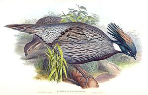 Koklass pheasant - Image: Koklass Richter